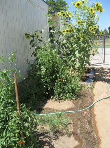 Tomatoes, and carrots and sunflowers -- Oh My!
