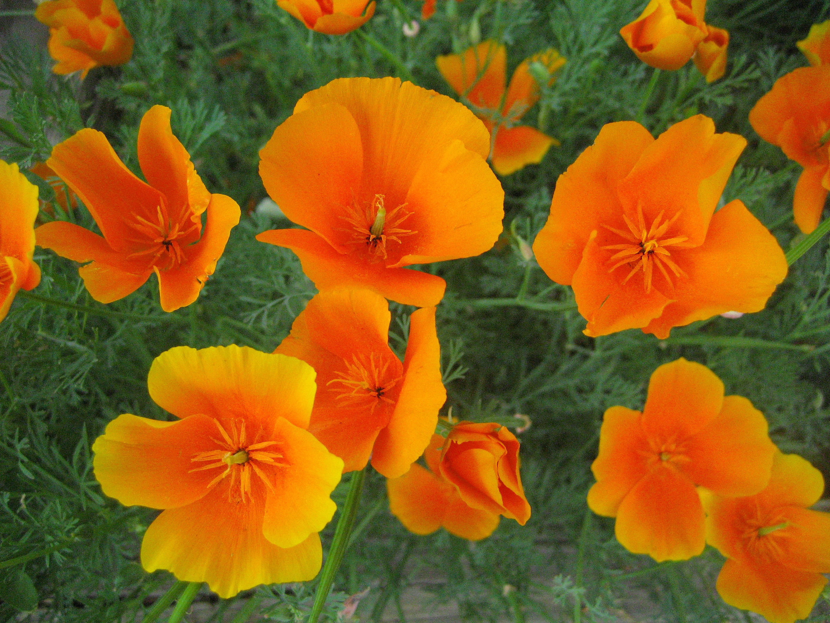 Poppy killers green schoolyard california poppies from the wikipedia commons files mightylinksfo